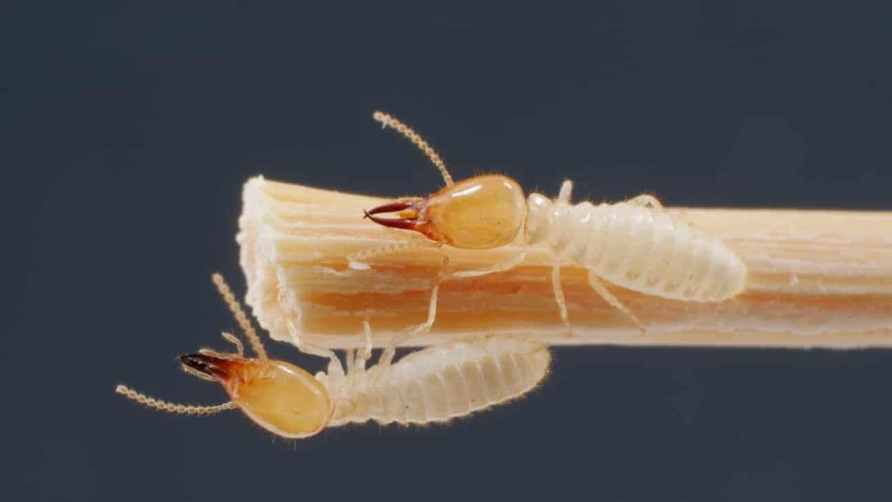 הכירו את הטרמיט הפולש שנתגלה בישראל – טרמיט פורמוזי Coptotermes Formosanus